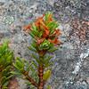 Heb pauciramosa