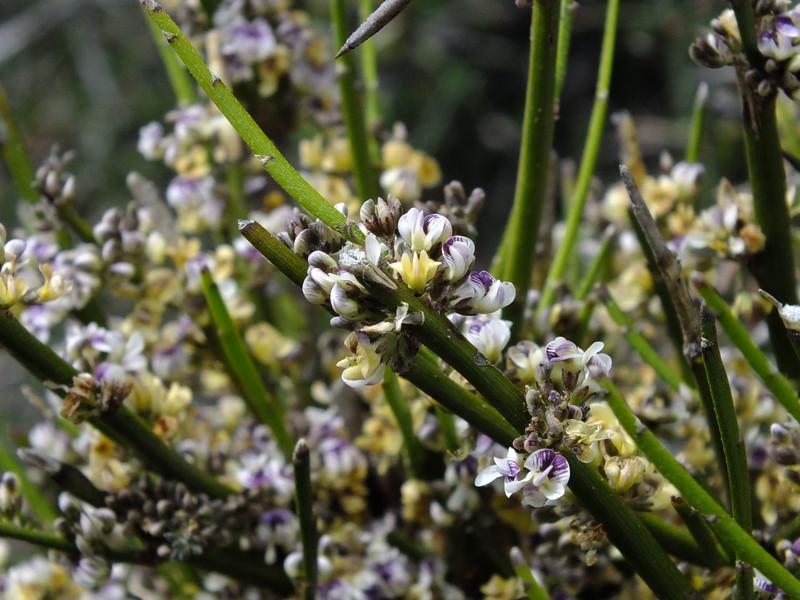 Carmichelia grandiflora