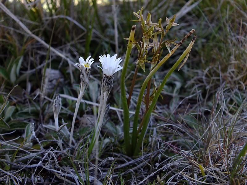 Celmisia gracilenta & Prasophyllum colensoi