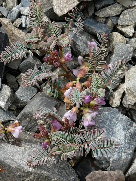 Montegena novae-zelandiae