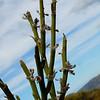 Corallospartium stevensonii