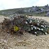 Ranunculus paucifolius & Myosotis colensoi