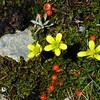 Ranunculus multiscapus & Nertera depressa
