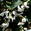 Viola cunninghamii