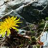 Taraxacum magellanicum