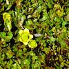 Ranunculus cheesemanii
