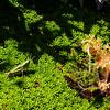 Alpine grasshopper, Phyllachne colensoi, Anisotome flexuosa