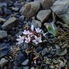 Montia erythrophylla