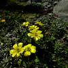 Ranunculus enysii