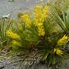 Aciphylla montana