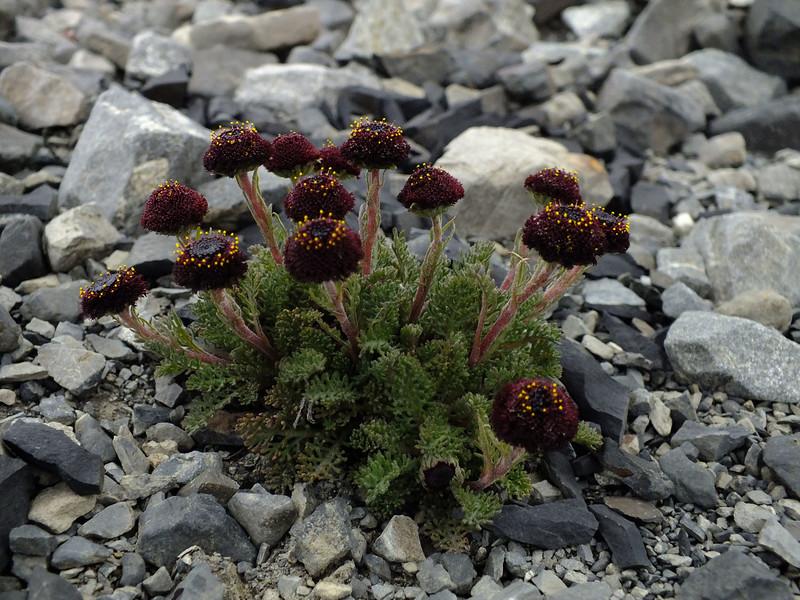 Leptinella atrata