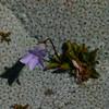 Wahlenbergia albomarginata + Raoulia eximia