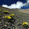 Ranunculus haastii