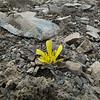 Ranunculus crithmifolius
