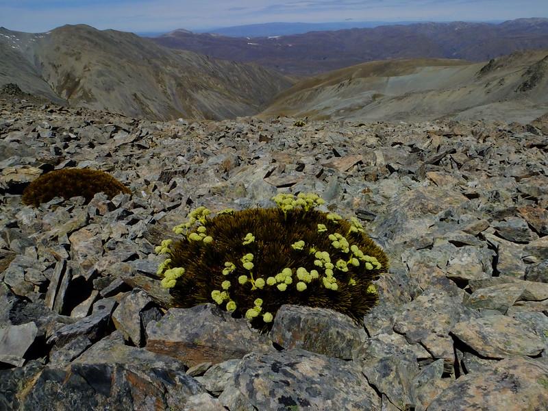 Aciphylla dobsonii