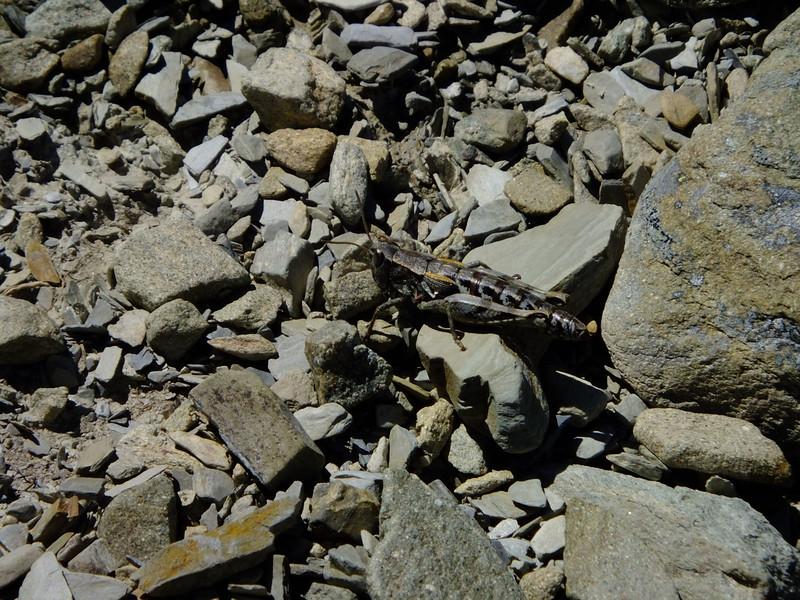 Alpine grasshopper - Sigaus austalis