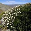Celmisia angustifolia & C. ramulosa