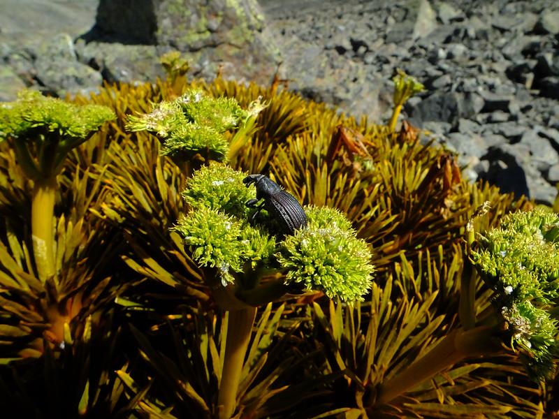 Speargrass weevil (Lyperobius barretti