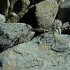 Alpine grasshopper - Brachaspis nivalis