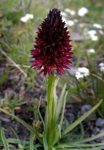 Black vanilla orchid - Nigritella nigra