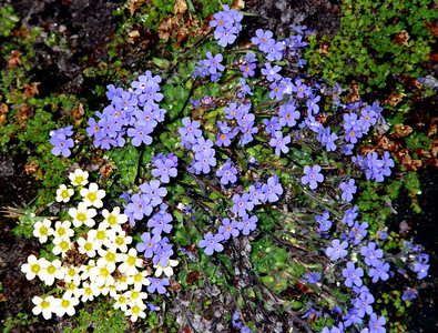 Alpine forget-me-not [Myosotis alpestris] with an Androsace.  Zwischbergental, 13/8/00