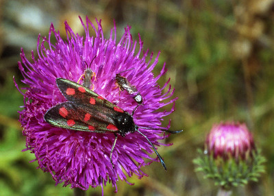 Burnet moth [Zygaena ?filipendulae] on an Alpine thistle [Carduus defloratus]  W side of the Mattertal, 16/09/99
