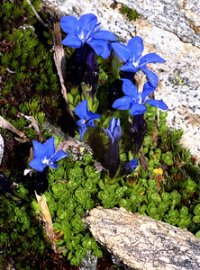 Gentian [Gentiana ?bavarica]  Col de Forcletta, Val d'Anniviers side, 17/9/99