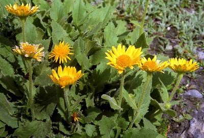 Leopardsbane [Doronicum grandiflorum]  Val de Moiry, 18/9/99