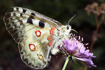 Apollo [Parnassius apollo] on a scabious [Knautia sylvatica].  W side of Mattertal, above St Niklaus  16/9/99