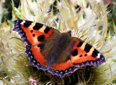 Small tortoiseshell [Aglais urticae] on a silverthistle [Carlina simplex].  Val de Zinal, 17/9/99