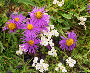 Alpine aster [Aster alpinus] with ?Musk yarrow [Achillea ?moschata]  Passo di Pontimia, 13/8/00