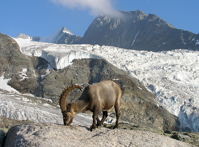 Ibex above the Ried glacier.