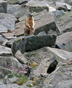 Alpine marmot [Marmota marmota] on sentry duty.  Valsavarenche, Italy   26/07/10