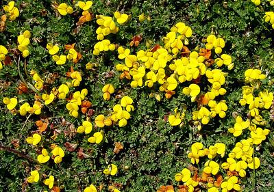 Alpine birdsfoot trefoil - Lotus alpinus