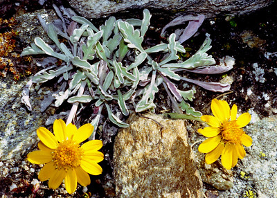 Alpine groundsel  [Senecio uniflorus]  High in the Almagellertal, 13/9/99