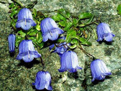 "Bellflower ""Fairy's thimble"" [Campanula cochlearifolia]  Col de Louvie, 23/9/99"