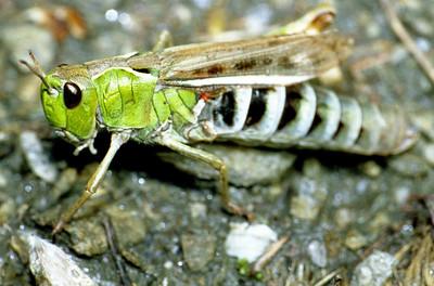 Grasshopper.  Val des Dix, 22/9/99