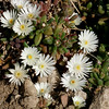Delosperma spec. Beauford West (BG Hamburg)