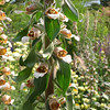 Digitalis ferruginea (BG Hamburg)