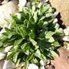 Draba yunnanensis new growth in spring