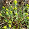 Euphorbia cyparissias (BG Hamburg)