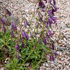 Penstemon whippleanus (BG Hamburg)