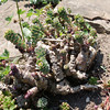 Rhodiola rosea, old plant with massive rootstock (Berggarten Hannover)