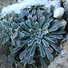 Saxifraga callosa in winter