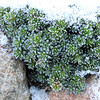Saxifraga x anglica 'Grace Farwell' (S. aretioides x S. media x S. lilacina) in winter