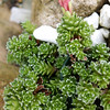 Saxifraga marginata (Caucasus form from Alpigena Saxifrages)