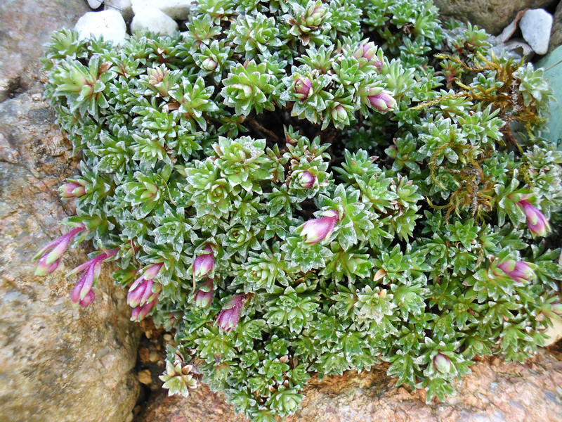 Saxifraga x anglica 'Grace Farwell' (S. aretioides x S. media x S. lilacina)