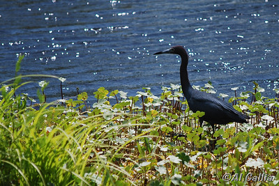 """©Al Gallia; """"Fresh Breeze and Sun""""; Little Blue Heron welcoming the warming sun and fragrant breeze of an April day. Taken at Lake Martin/Cypress Island Preserve, Louisiana."""