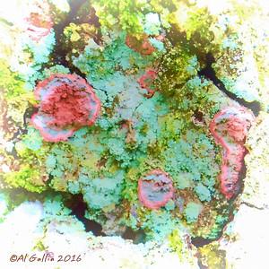 'Lichen Art'