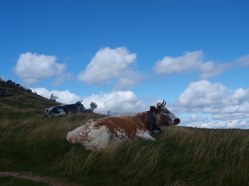 """Les vaches : """"Ah la la, on peut même plus ruminer en paix, avec ces touristes.."""" [Photo Élise]"""